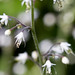 Foamflower close-up