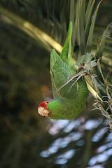 Green cheeked amazon hanging around