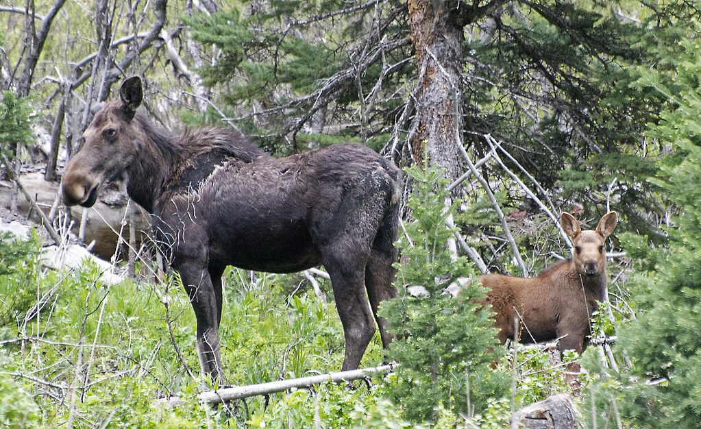 Young Moose | An adult moose watches warily in protecting