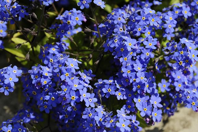 The Alaska State Flower Flickr Photo Sharing