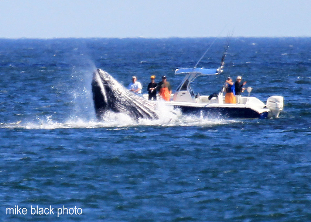 Whales off nj coast whale breaches near fishing boat off for Belmar nj fishing