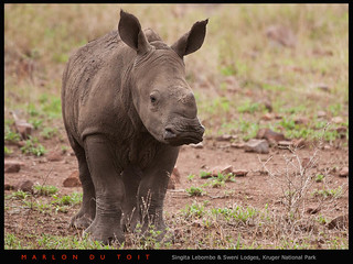 Rhino Calf | by Singita Game Reserves