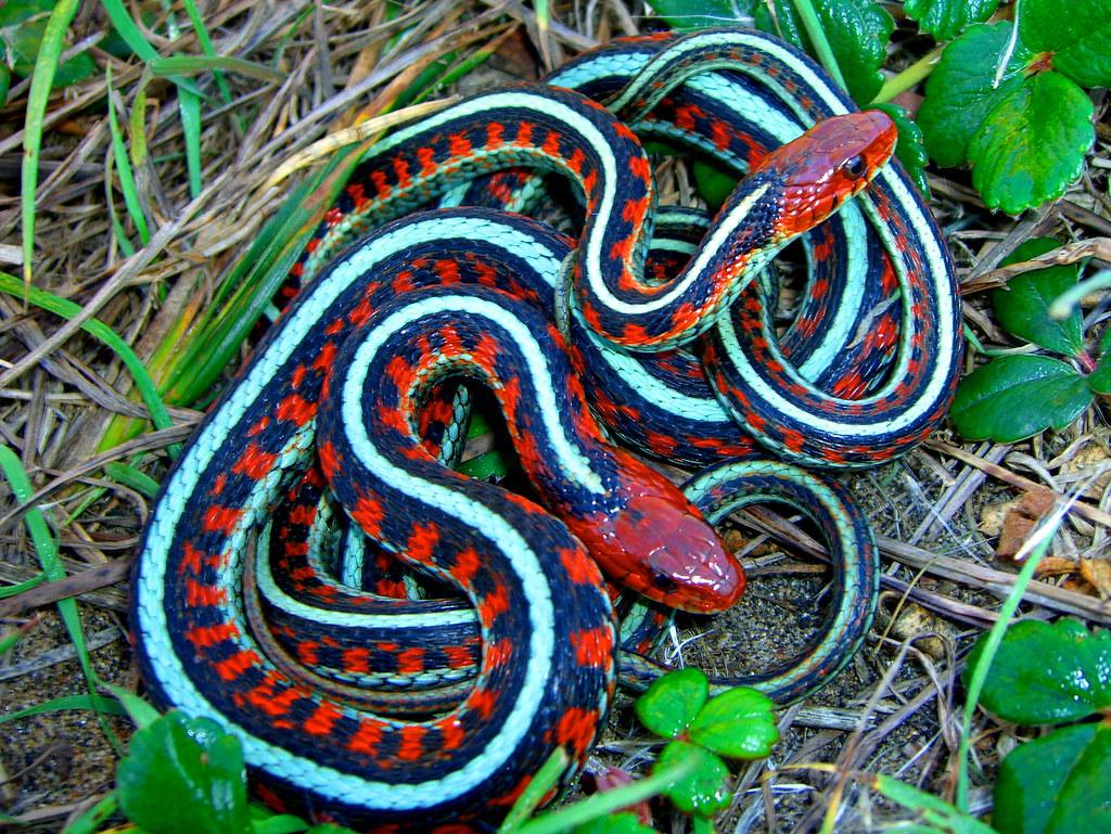 Mating, Thamnophis sirtalis infernalis; California Red-sid ...