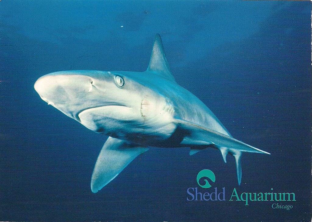 sandbar shark shedd aquarium chicago illinois carrie