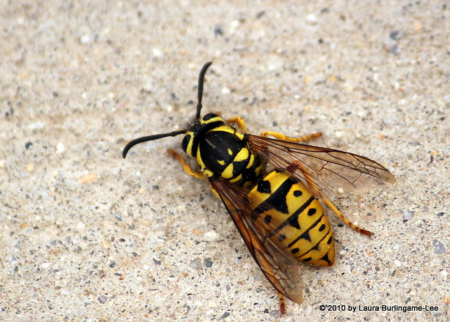 Hornet Wasp Difference Wasp or hornet or bee Hornet Vs Wasp Size