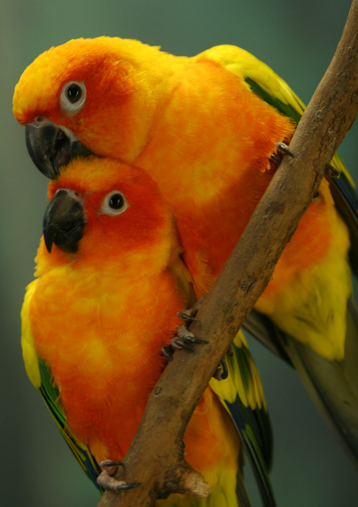 Sun Conures in The Wild Sun Conure 3 | by Slooby