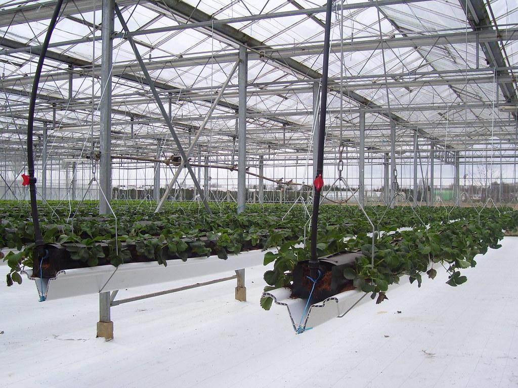 fraisier en plantation hors sol earl raehm flickr. Black Bedroom Furniture Sets. Home Design Ideas