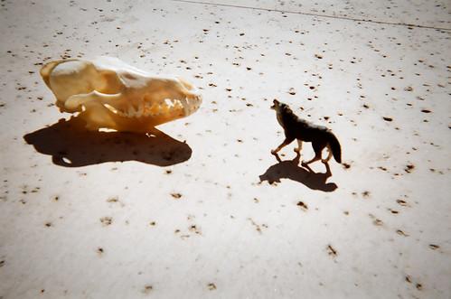 Coyote skull vs wolf skull - photo#12