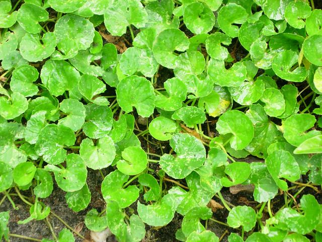 Centella asiatica выращивание 53