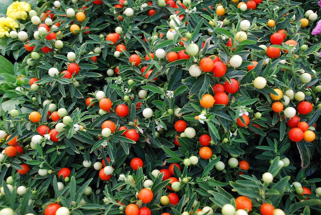Solanum capsicastrum tomatitos de navidad solanum for Pianta ornamentale con bacche rosse