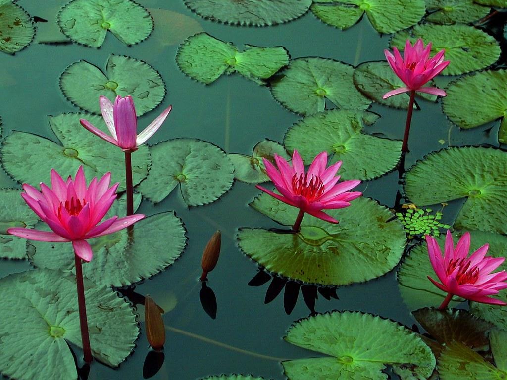 Lotus flower in sri lanka josé