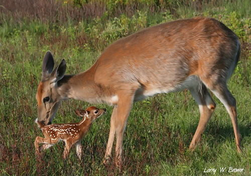 Fawn and doe