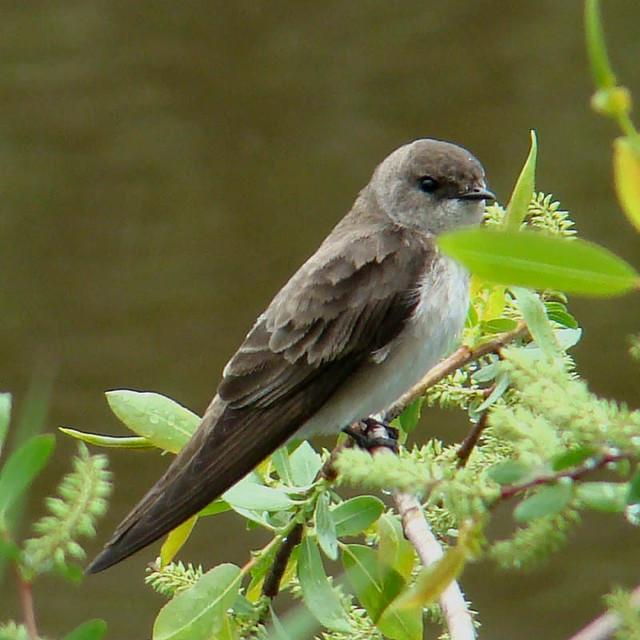 Female Tree Swallow 113