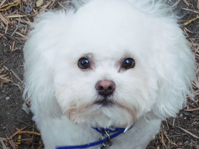 Free Bichon Mix Dogs