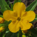 Lithospermum caroliniense, Marion County, Georgia 1