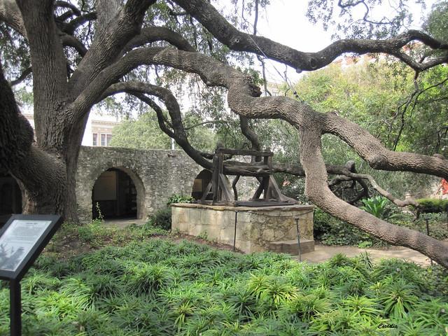 Live Oak And Well Alamo San Antonio Texas Flickr
