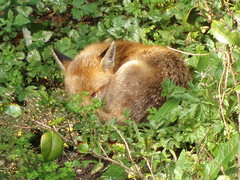 Urban Fox Sleeping | by Limbo Poet having a break for a while