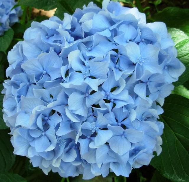 Light Blue Flowers For Weddings: Blue Hydrangeas In My Cirali Garden Taken Last Week