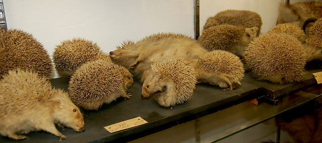 Case Of Many Hedgehogs At The Zoological Museum In