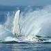Hervey Bay Whales 1002