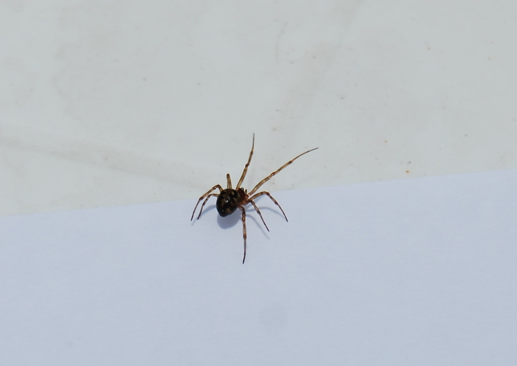 Poisonous Spiders. |Chilean Recluse