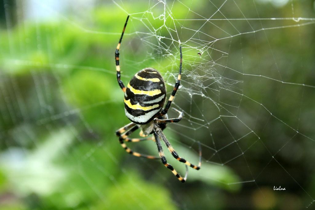 "Aranha-tigre (Argiope bruennichi) | ""A Aranha-tigre também ..."