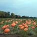 Sincere pumpkin patch