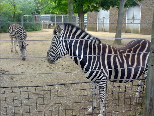 Zebras at London Zoo | Flickr - Photo Sharing!