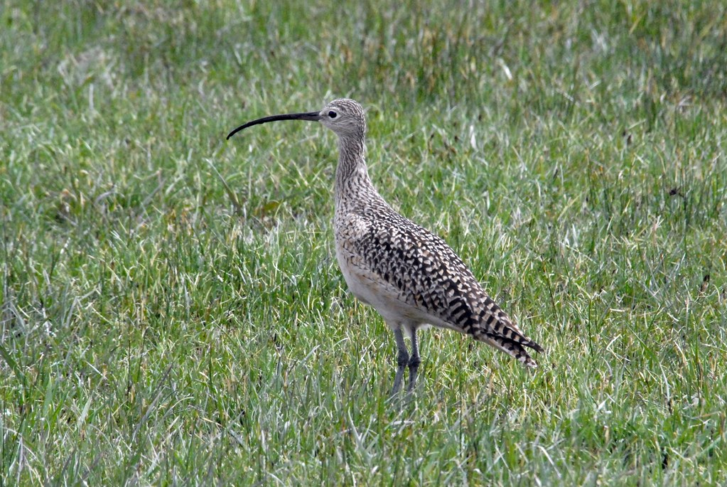 Long-billed Curlew (Numenius americanus) DSC_0037 | by NDomer73