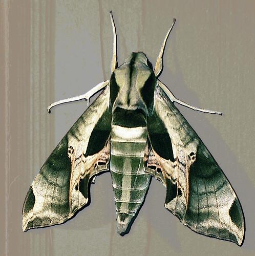 Pandorus Sphinx Moth Flickr Photo Sharing