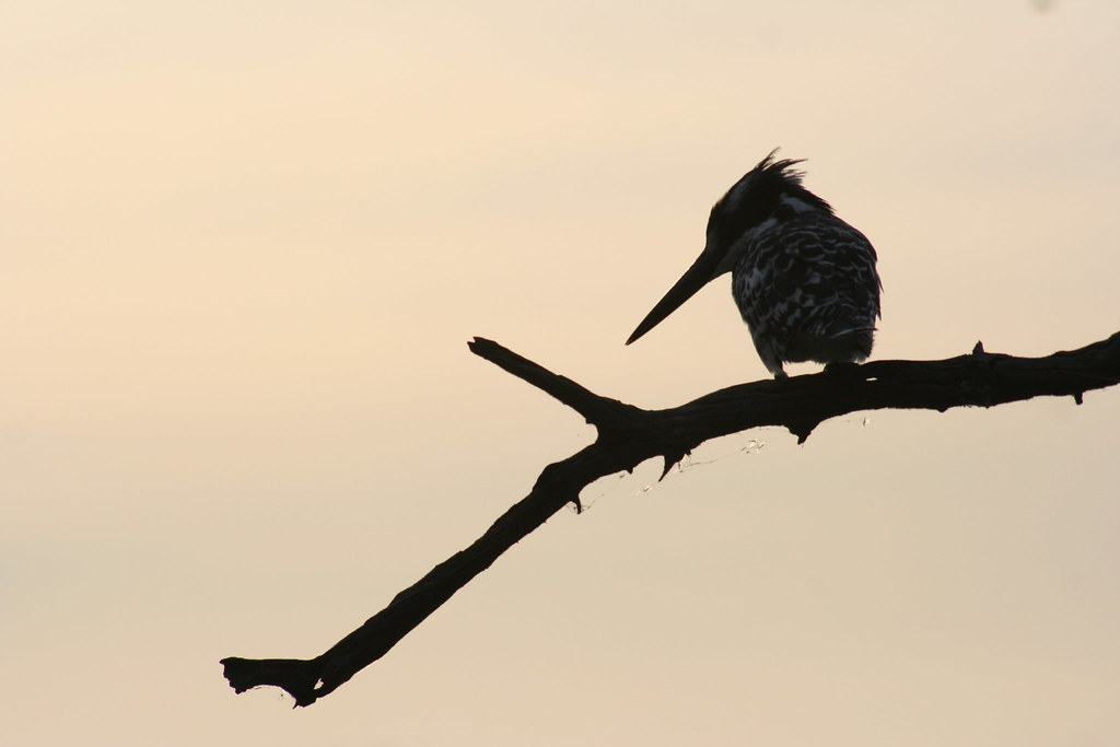 pied kingfisher silhouette going nowhere slowly flickr