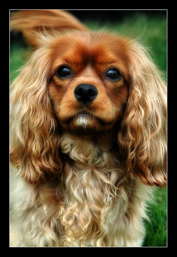 Tucker-King Charles Spaniel | by dog ma