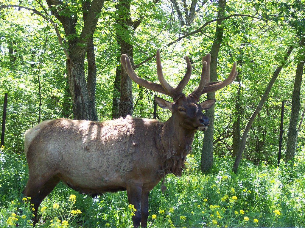 Elk | At the Omaha zoo's Wildlife Safari Park | Christine ...
