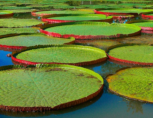 Lily Pad Stepping Stones The Latticed Veins Of The Giant