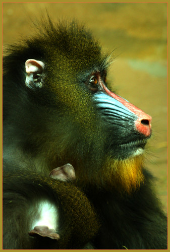 Mandrill Mommy | by LadyDragonflyCC - >;<