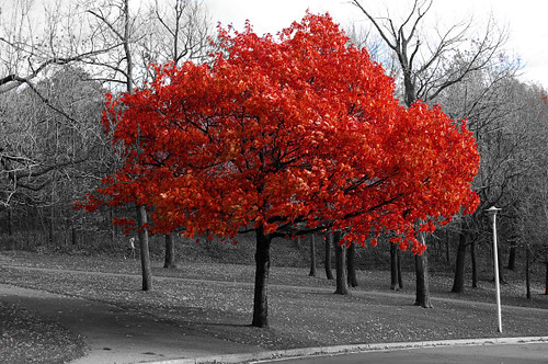 black and white pic with red tree | cookiehutchin | Flickr