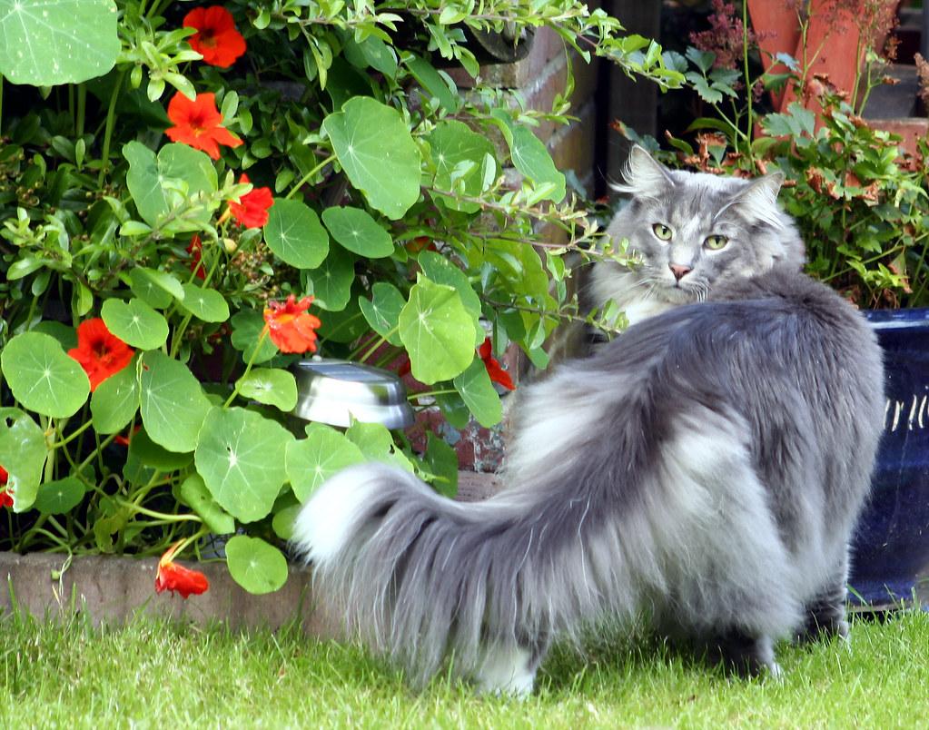 Norwegian Forest Cat Video