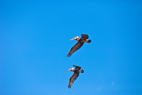 Two Brown Pelicans | by Kris Krug
