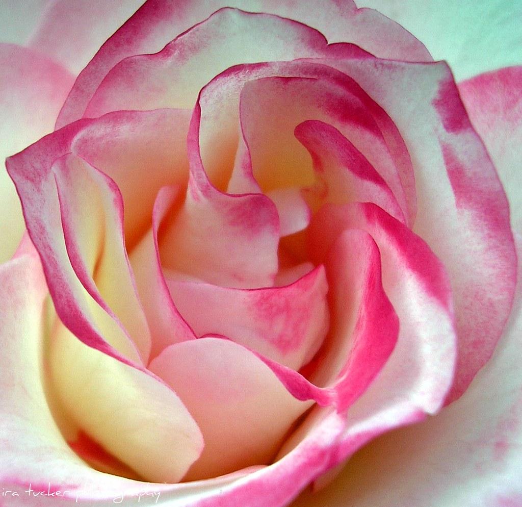 Raleigh little theatre rose garden explorable ira tucker flickr for Raleigh little theater rose garden
