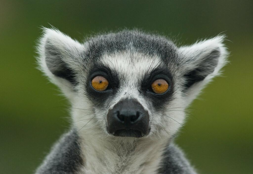 Lemur D2a 9080 Head And Shoulders Portrait Of A