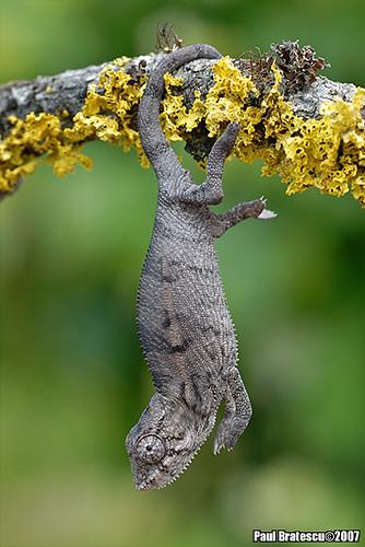 Baby Chameleon Breeders In California
