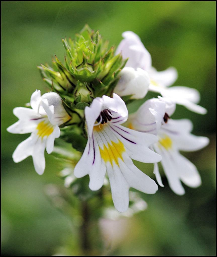 Eyebright Euphrasia Officinalis One Of 30 Odd Species
