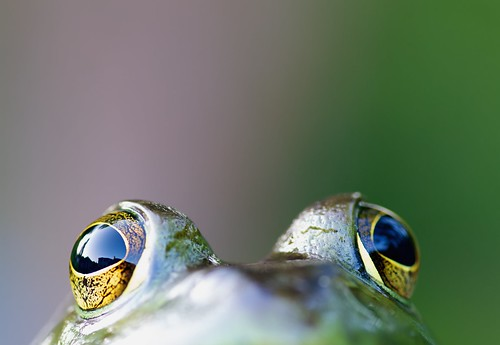 Bullfrog Eyes | by Nick Harris1