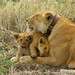Lioness and cubs cuddling Serengeti NP Tanzania Africa