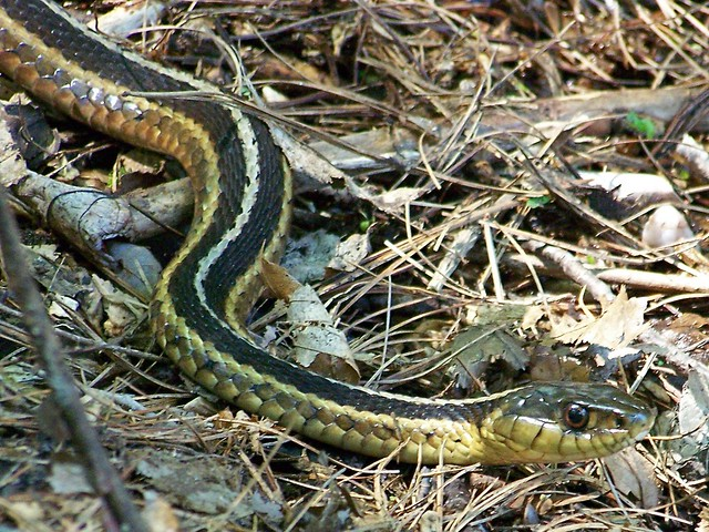 Garter Snake The Gardens Wyckoff Nj Duskie78 Flickr