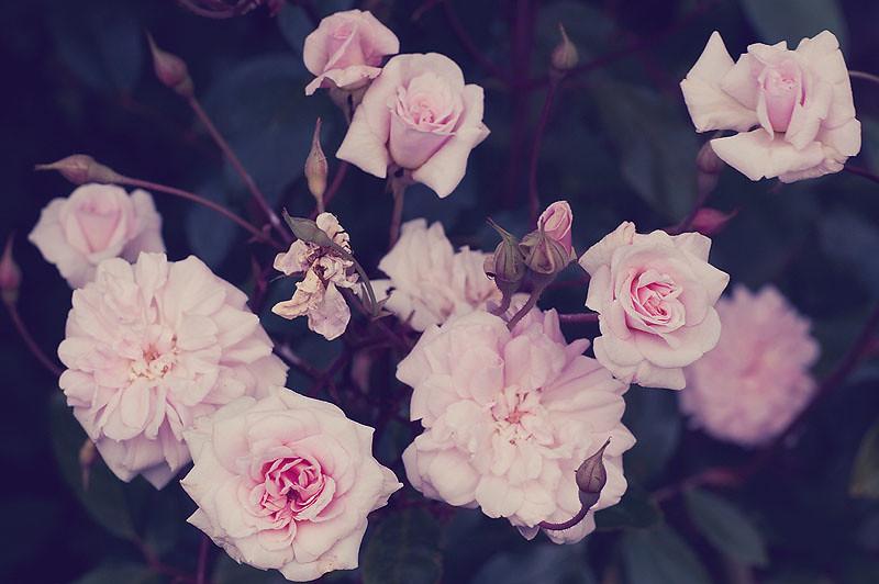 Vintage Roses Background Tumblr