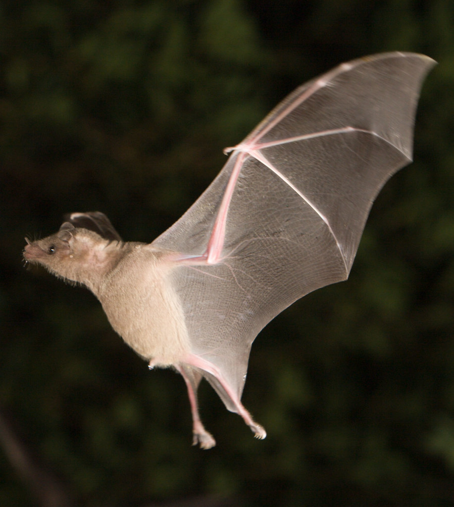 Lesser Long-Nosed Bat   I photographed these bats near ...