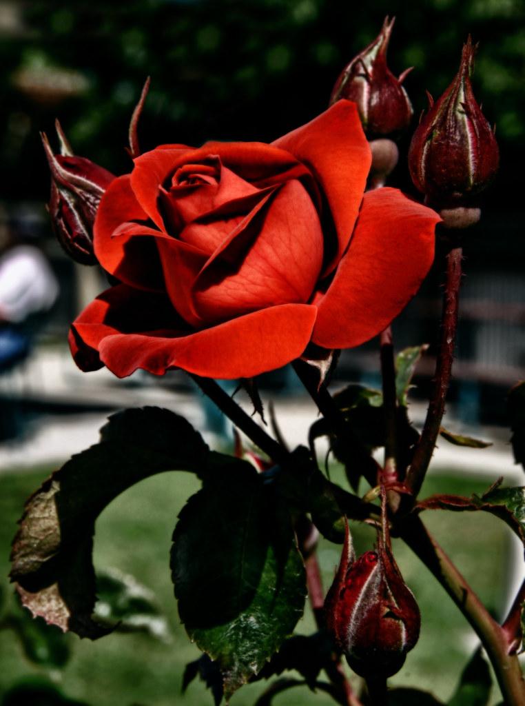 Chocolate White Rose
