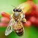 Honey Bee-5 of 5 Series