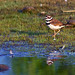 A First Light Killdeer Morning Strut